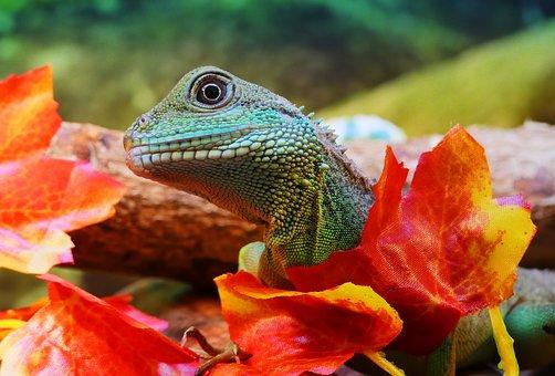 Water Dragon, Chinese, Physignathus, Cocincinus, Dragon
