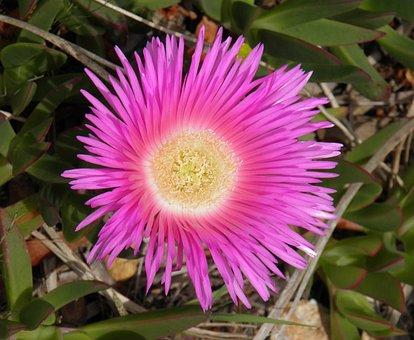 Pink, Flower, Succulent, Ice Plant, Carpobrotus Edulis