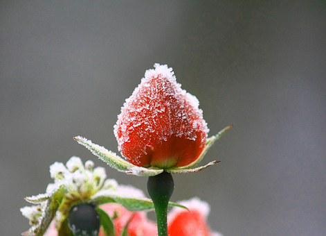 Flower, Rose, Pink, Red, Slovenia, Nature, Frost, Ice