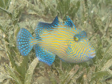 Triggerfish, Young Fish, Rotesmeer, Underwater