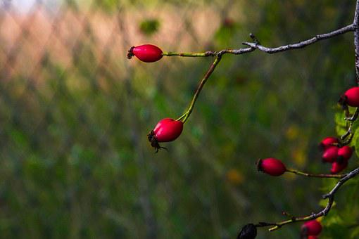 Rose Hip, Red, Color, Nature, Scrub, Branch, Fruit
