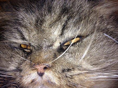 Cat, Animal, Animals, Lazy, Persians, Sleepy, Sleep