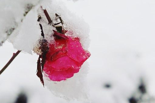 Rose, Snow, Winter, Nature, Red, Covered, Ice, Flower