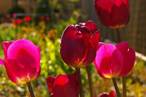 Tulips, Red Tulips, Red, Flower, Spring, Nature