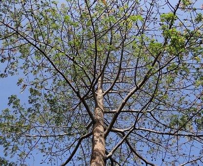 Bombax Ceiba, Shimul, Silk Cotton, Tree, Hubli, India
