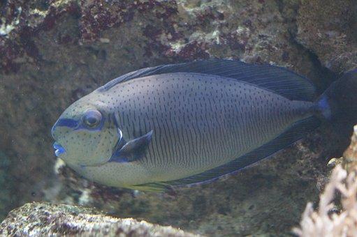 Triggerfish, Fish, Aquarium, Water Creature