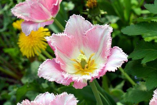 Tulip, Pink, White, Bicolor, Gentle, Bud, Flower