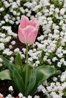 Tulip, Gloeckchenblume, Green, Composites, Pink Rose