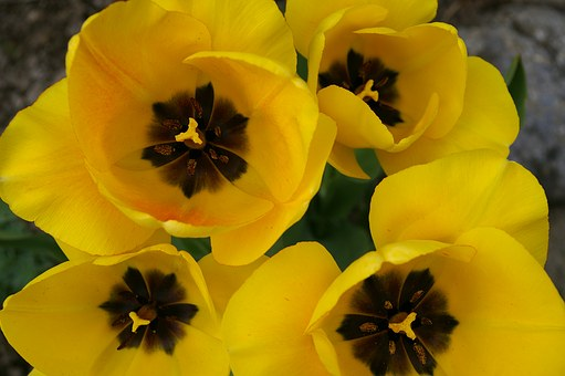 Tulips, Spring, Bloom, Yellow, Flowers, Yellow Flowers