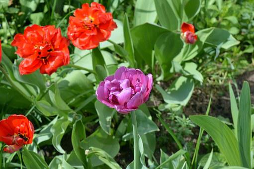Tulips, Flower Bed, Flowers, Pink, Lilac, Red, Terry