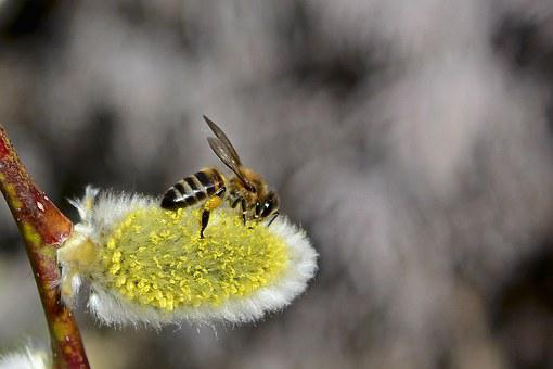 Bee, Spring, Verba, Living Nature, Flowers, Insect