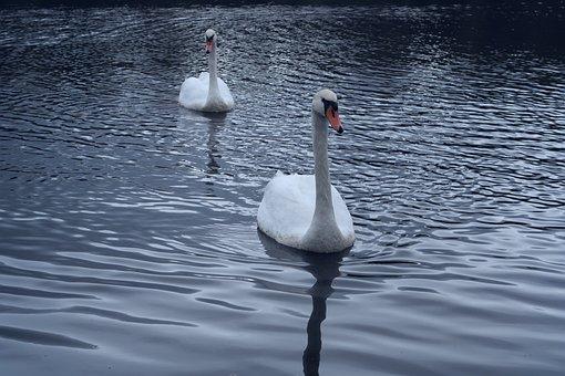 Swans, Direct View, Bird, Water, Purity, Brightness