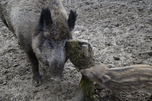 Wild Boars, Bache, Launchy, Mother And Child, Wild Boar