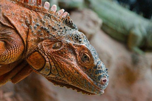 Iguana, Red, Lizard, Nature, Reptile, Wild, Wildlife