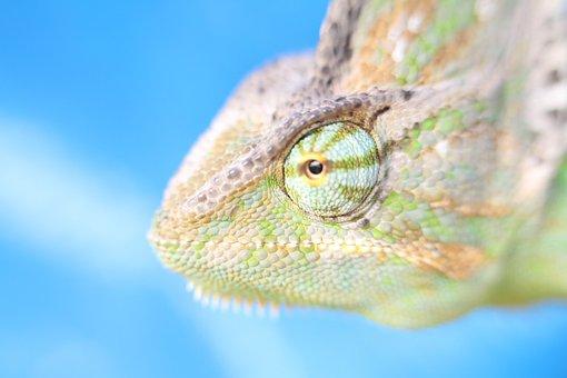 Macro, Chameleon, Yemen Chameleon, Reptile, Animal