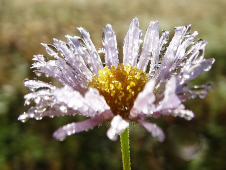 Flower, Petals, Dew, Drops, Stem, Plant, Nature, Bloom