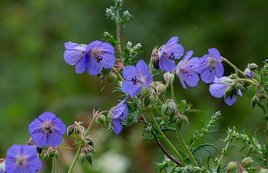 Flowers, Meadow Cranes-bill, Petals, Dew, Meadow