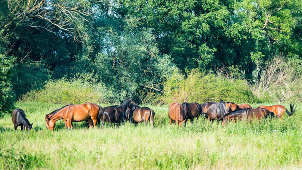 Horses, Pasture, Forest, Meadow, Nature, Tree