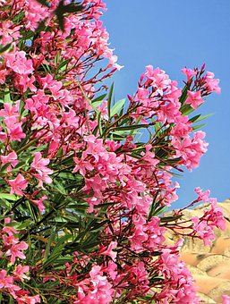 Laurier Rose, Flowers, Petals, Leaves, Foliage, Hedge
