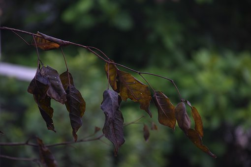 Leaves, Foliage, Dry, Tree, Branch, Fall, Nature