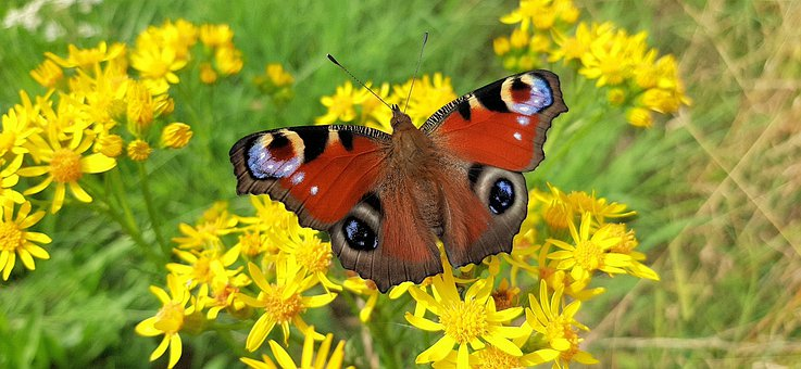Peacock, Butterfly, Forest, Bug, Flowers, Colorful