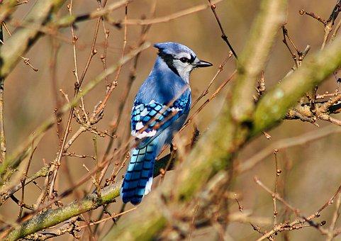 Bird, Blue Jay, Beak, Plumage, Feathers, Avian, Tree