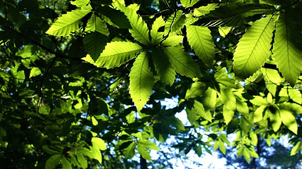 Tree, Leaves, Foliage, Sunlight, Chestnut, Forest