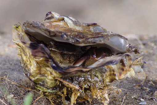 Oyster, Beach, Crab, Shell, Nature, Sand, Water