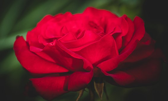 Flower, Rose, Plant, Blossom, Bloom, Red