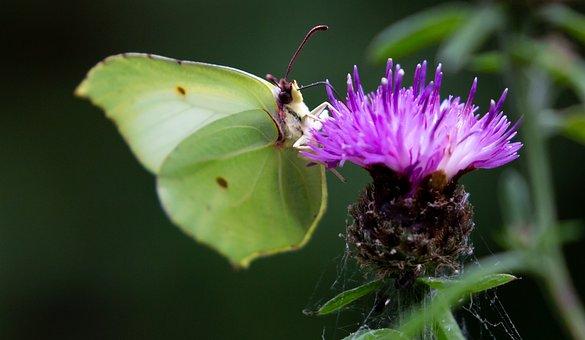 Brimstone Butterfly, Brimstone, Gonepteryx Rhamni