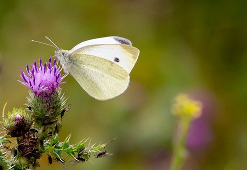 Butterfly, Isect, Bug, Wings, Thistle, Grass, Garden