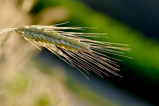 Barley, Ear, Cereals, Grain, Crop, Nature, Lighting