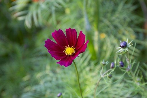 Flower, Blossom, Nature, Plant, Spring, Summer, Garden