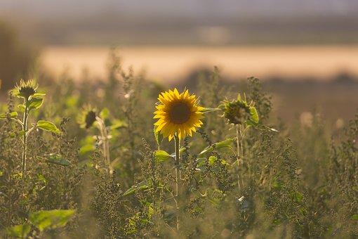 Field, Sunflowers, Wild Sunflower, Flower, Bloom