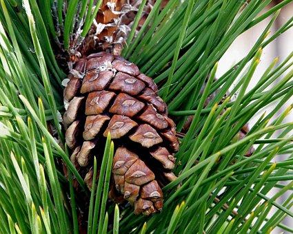 Cone, Pine Cone, Fir, Tree, Conifer, Pine, Nature
