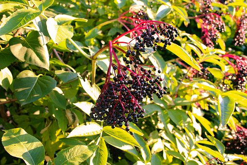 Black Elderberry, Sambucus, Holler, Elderberries
