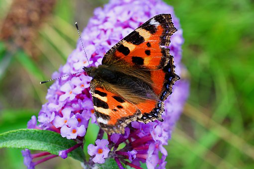 Butterfly, Wing, Fauna, Small-tortoiseshell, Flower