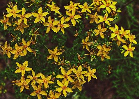Flower, Blossom, Bloom, St John's Wort, Petals, Plant