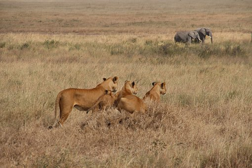 Lion, Mammal, Cubs, Elephants, Savana, Animals, Safari