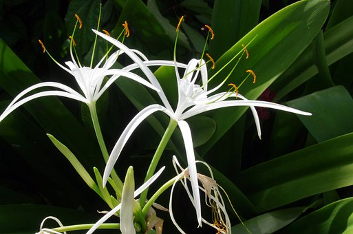 Flower, Petals, Corolla, Plant, Bulb, Hyménocalle