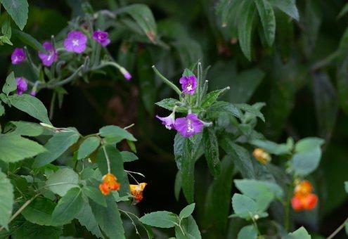 Flowers, Plant, Orange Himalayan Balsam