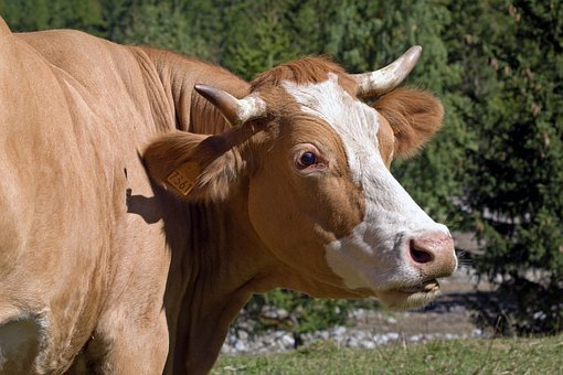 Cow, Race Red, Cattle, Livestock, Breeder, Head, Horns