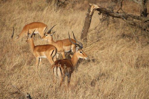 Deer, Gazelle, Antelope, Horns, Impala, Wildlife