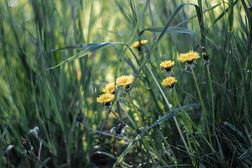 Dandelions, Flowers, Grass, Meadow, Nature, Summer