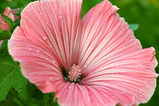 Flower, Malope, Petals, Dew, Striated Flower