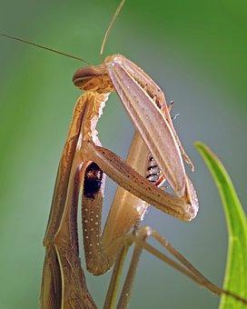 Mantis, Praying Mantis, Insect, Beige, Close, Female