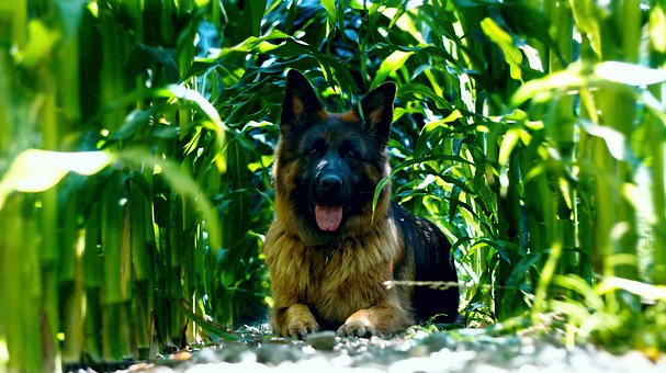 Dog, Schäfer Dog, Animal, Corn, Cornfield