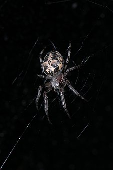 Spider, Insect, Web, Arachnid, Nature, Biology, Plant