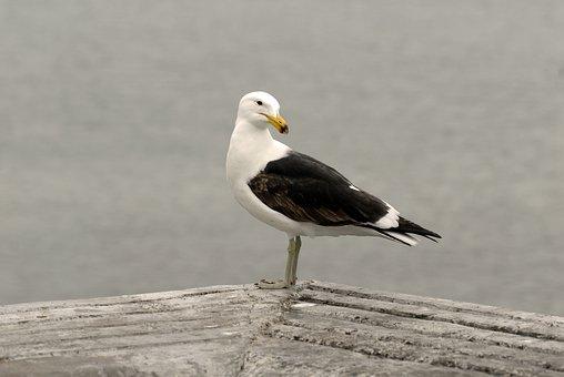 Seagull, Bird, Animal, Gull, Wildlife, Seevogel