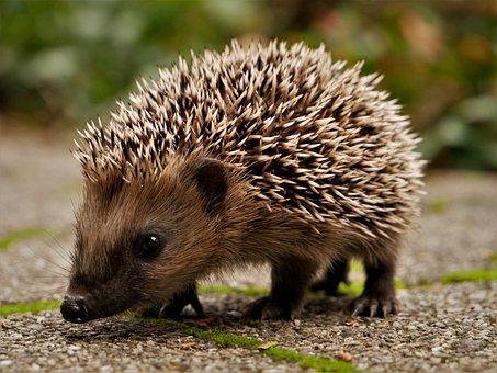 Hedgehog, Garden, Nature, Autumn, Cute, Foraging